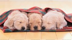 Sahiplerinin Ninnisi İle Uyuyan Yavru Köpekler