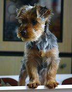 Silky Terrier---oh my gosh,,,this is Alex when he was a baby!!!