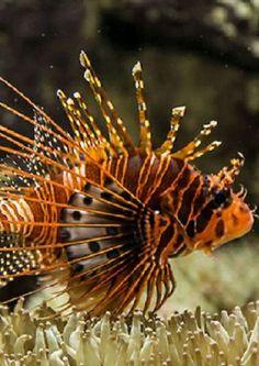 Lion Fish / King of the Ocean? Beautiful Sea Creatures, Deep Sea Creatures, Underwater Creatures, Underwater Life, Beautiful Fish, Pretty Fish, Life Under The Sea, Salt Water Fish, Mundo Animal