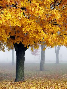 Misty Maples I love autumn so couldn't resist reprinting this gorgeous autumn pic