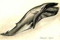 Dessin de Baleanoptera physalus par Julie Maigne, Muséum de Toulouse.