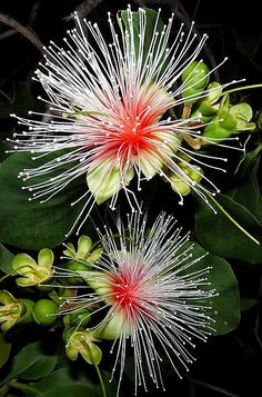 Australian Planchonia careya, also called Cocky apple. Only at night! Each flower only one night too. So fragrant