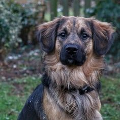 Golden Border Retriever named Sunny All Dogs, Dogs And Puppies, Doggies, Golden Retriever Names, Golden Retrievers, Border Collie Mix, Training Your Puppy, Puppy Breeds, Family Dogs