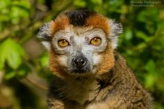 Kroon maki - Crowned Lemur