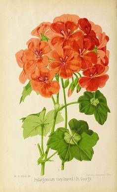 Salentijn Poppy Garden Afternoon Tea  Design See Variety Janneke Brinkman
