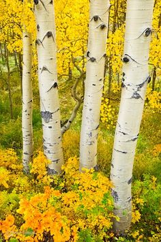 Aspen, CO, USA, in Fall.Just want to see the birches. Fall Pictures, Pretty Pictures, Beautiful World, Beautiful Places, Aspen Trees, Birch Trees, Foto Art, Shades Of Yellow, Mellow Yellow