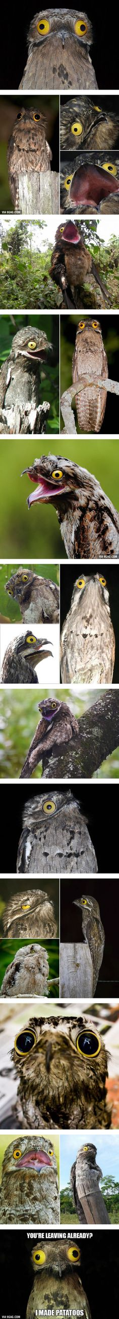 Potoo: The Funniest Looking Bird Ever
