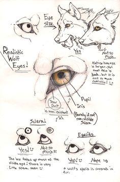 Wolf eye anatomy page by Anarchpeace