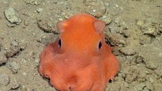 """Yahoo News   This handout photo from the Monterey Bay Aquarium Research Institute shows the flapjack octopus, which scientists may call """"Opisthoteuthis Adorabilis""""- punk octopus so cute may be named 'adorabilis'"""