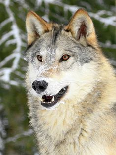 Snowy Grey Wolf -- by © Steve McKinzie