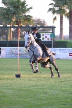 Grey Lusitano stallion Oxidado in Portugal - working equitation