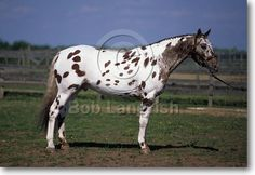 Appaloosa - stallion Waps Reflection