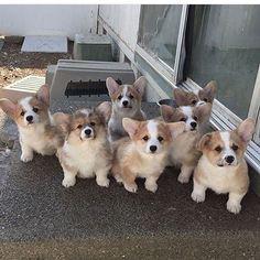 Cute corgi puppies ... #corgipuppy #corgi