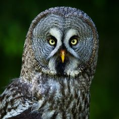 Photo Great Grey Owl by Niklas Nilsson on 500px