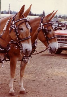I like mules. This would be my draft animal of choice. The only drawback is the inability to breed mules from mules!