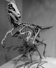 Meet Troodon, the World's Smartest Dinosaur: Troodon Had a Bigger Brain than Most Dinosaurs