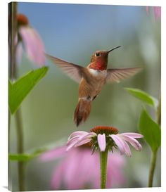 buy positive energy fine art photo Rufous Hummingbird male feeding on flower nectar at www.explosionluckc.om