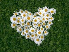 Marguerites en forme de coeur..