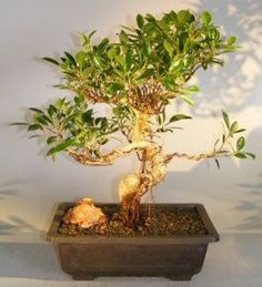 Indoor Bonsai Trees - Also known as Banyan Fig. The Retusa has small, dark green leaves which are more oval than the Benjamina.