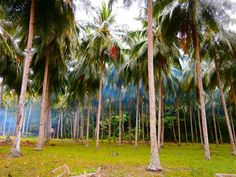 Coconut trees at Talicud Island, Davao.