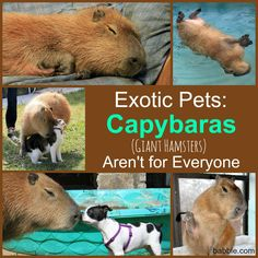 Exotic Pets: Capybaras ('Giant Hamsters') Aren't for Everyone (via Babble Pets)