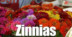The Zinnia plant - at ease in any garden, thriving on hot weather, a quick source of cut flowers all summer long, plus the zinnia possesses virtues obvious to beginner and expert alike. The uses of Zinnias are so varied and, unfortunately, its abuses so monumental that the practiced... #spr #sum