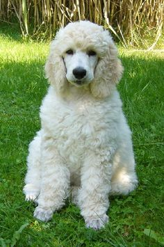 Joschi at 9 weeks. Poodle puppies sure are beautiful!