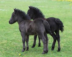 Two black Shetland pony foals |
