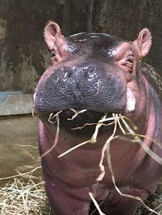Hippo Blog #7: Fiona's Adoring Public Awaits | Cincinnati Zoo Blog