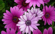 Crisatemos /Purple Chrysanthemums  (2560×1600)