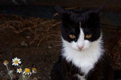 Γάτα και χαμομήλι. Καλαμαριά. (Μάιος 2018) Cats, Animals, Gatos, Animales, Animaux, Animal, Cat, Animais, Kitty