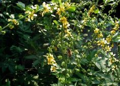 Agrimony Herb - Health Benefits and Side Effects