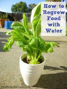 Regrowing Food in Water