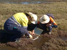 We need to continue to monitor the saltmarsh areas in order to learn more about their ecology and sustainability. This enables managers to make informed decisions around conservation. Enabling, Ecology, Conservation, Habitats, Sustainability, Monitor, Management, Learning, Studying