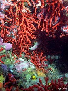 Corail Rouge https://www.facebook.com/marc.rm.161 https://www.facebook.com/Bijoux-MRM-388443807902387/ https://www.facebook.com/La-Taillerie-du-Corail-1278607718822575/ https://fr.pinterest.com/bijouxmrm/