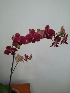 Phalaenopsis vinho (presente de aniversário - novembro de 2015)
