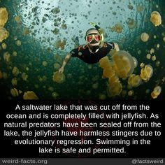 A saltwater lake that was cut off from the ocean and is completely filled with jellyfish. As natural predators have been sealed off from the lake, the jellyfish have harmless stingers due to...