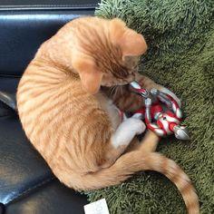 ギブ!ギブ! #猫 #子猫 #茶トラ #cat #kitten