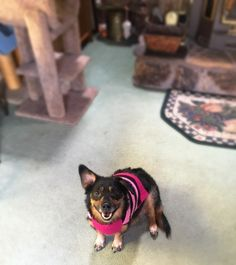 She has been a city doggie, suburb doggie, and loves camping and swimming! Her 'superpower' is her constant kisses! Superpower, Kisses, Dog Lovers, Arizona, Corgi, Swimming, Meet, Camping, Puppies