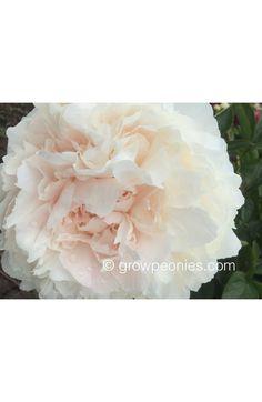 Dorothy J. Peony growpeonies.com