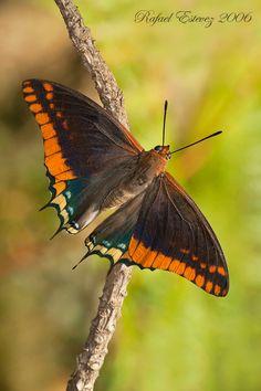 Mariposa Charaxes Jasius  España y Portugal