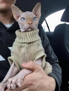 Shop for premium sphynx Clothes and Supplies. Baby Animals, Funny Animals, Cute Animals, Baby Giraffes, Cute Hairless Cat, Cute Cats, Funny Cats, Sphinx Cat, Beautiful Cats