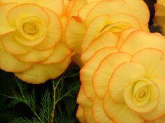 yellow begonias.