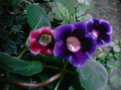 Minhas flores de gloxinia