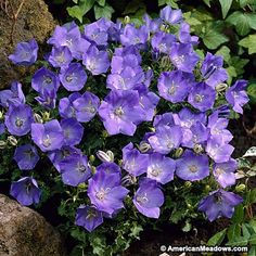 Blue Clips is a flowering groundcover for the front of a border. Deep blue on plants that stay low. (Campanula carpatica)
