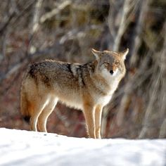 "@Sarah Griffin Journal's photo: ""A coyote pauses in Hawrelak Park in Edmonton on Jan. 24, 2014. Photo by John Lucas/Edmonton Journal #yeg #edmonton #coyote #park #wildlife #alberta #canada"""
