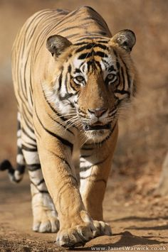 """'Tiger Approaching' - photo by James Warwick; Ranthambhore National Park, Rajasthan, India; """"This is 'Bombooram,' currently the largest tiger in Ranthambhore. He probably weighs around 250kg [550 pounds] and on this occasion was walking along the road behind our jeep."""""""