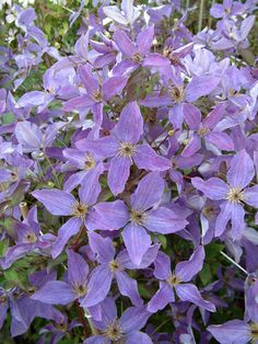 clématite so many 'lavender flower' (sunny sky /'zosusk') Vegetable Garden, Garden Plants, Gardening Vegetables, Clematis Vine, Purple Reign, All Things Purple, Lavender Flowers, Shades Of Purple, Garden Projects