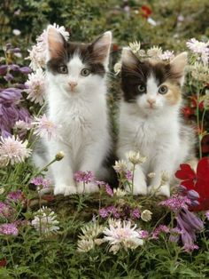 Domestic Cat 9-Week Black-And-White Kittens Among Flowers