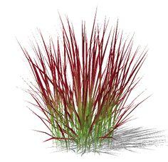 Imperata-Japanese Blood Grass